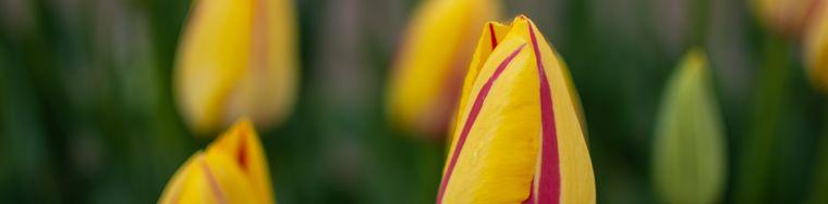 32845_tulipani-italiani901jpg.jpg