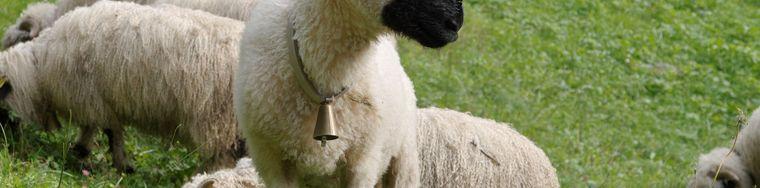 36974__img3228-20201007-038-razza-di-pecorejpg.jpg
