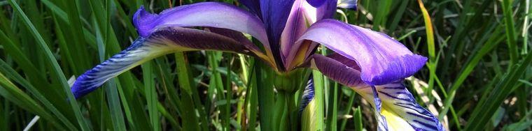 35930_03-iris-_iris-versicolor_-sul-sent-531-per-costone_filaressajpg.jpg