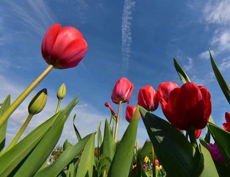 Tulipania, primavera a domicilio
