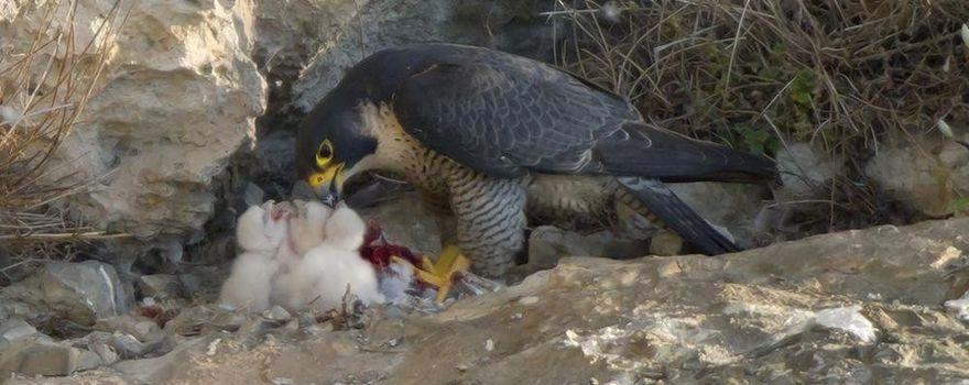 In valle Bova sta nidificando il falco pellegrino