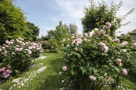 A Rovato corso per coltivare rose