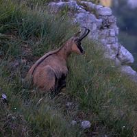 22 agosto 2013. Camoscio a pian Serrada, Monte Resegone