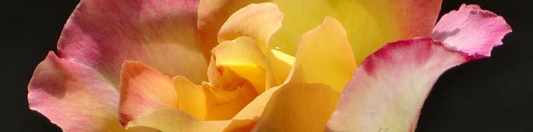 14148_rose