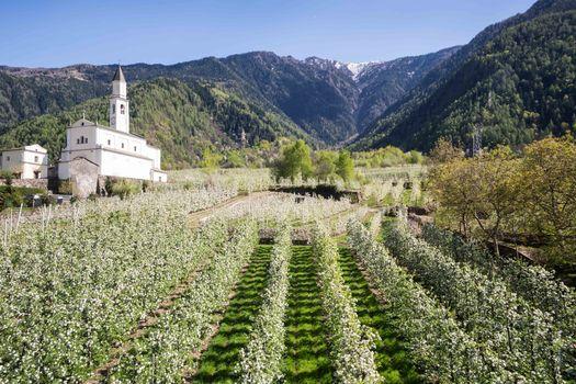 Valtellina, tra i meleti fioriti