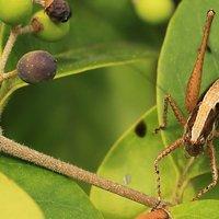 Yersinella raymondi - Tettigoniidae Ensiferi Ortotteri