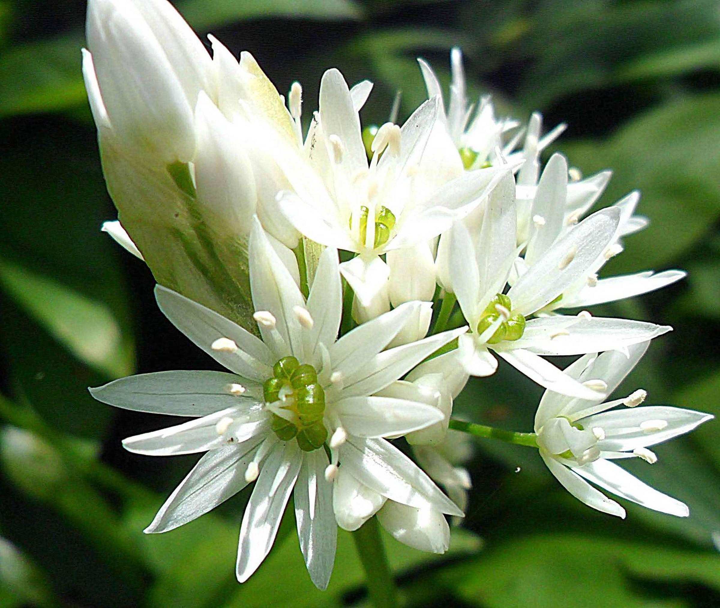 fiori di aglio orsino - Orobie.it