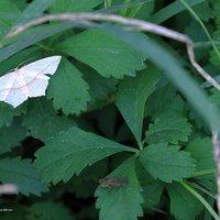 Timandra comae - Geometridae Sterrhinae Timandrini