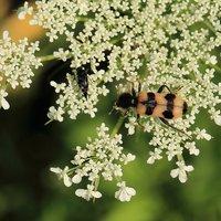Tricodes alvearius - Cleridae Clerinae Polyphaga Coleotteri