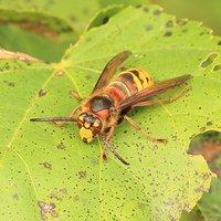 Vespa crabro o calabrone - Vespidae Hymenoptera