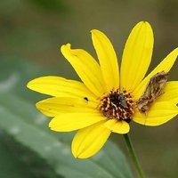 Chrysodeixis chalcites - Noctuidae Plusiinae Argyrogrammatini Lepidotteri