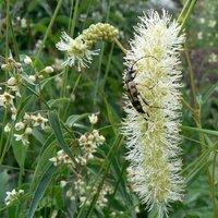 Ruptela maculata - Cerambycidae Lepturinae Ruptela Coleotteri