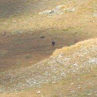 qualcuno si è accorto del fotografo:questi,a differenza dei cervi,si incontrano anche di giorno;un incontro suggestivo,  saluti.